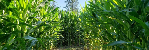 """Get lost, have fun, and stroll through our corn maze. Can you find all the check points? It's a""""maze""""ing!"""